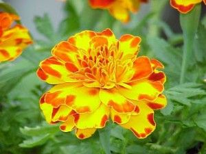 October Birth Flower The October Flower Is Marigold They Were