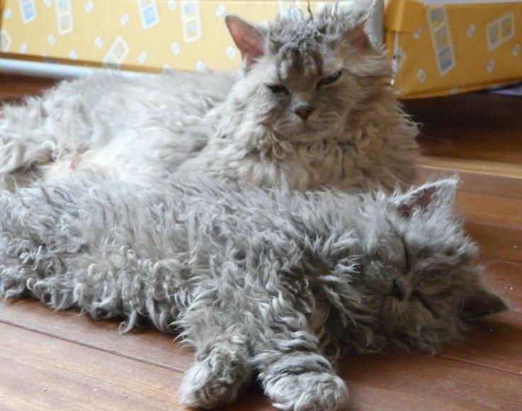 cybergata:  Chamade et Jin Daa - Two very fuzzy Selkirk Rex Kittehs
