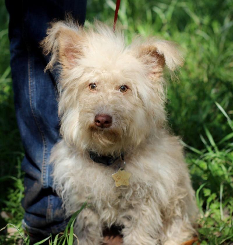 Adopt Wendel On Petfinder Poodle Mix Dogs Terrier Poodle Mix Animal Shelter