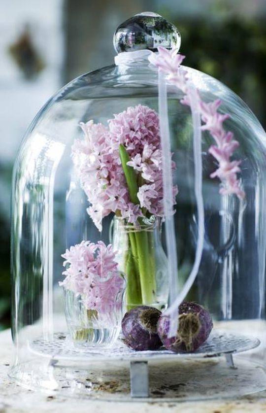 Hyacinten zijn uitermate geschikt om onder een stolp te showen. Vergeet ze alleen niet af en toe een beetje water te geven!