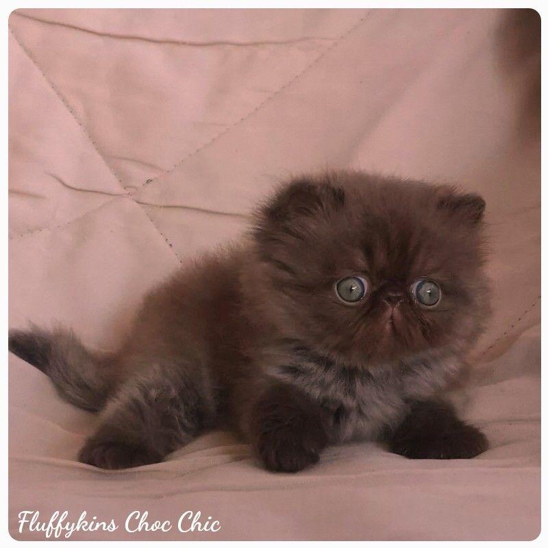 Fluffykins Choc Chic Solid Chocolate Persian Female Cute Cats Beautiful Cats Cute Animals