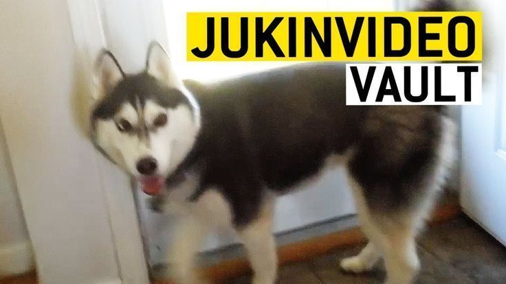 Funny Husky Videos From The Jukinvideo Vault Dog Quotes Funny