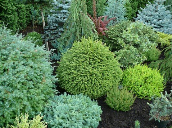 My Small Garden Conifers Forum Gardenweb Evergreen Landscape Conifers Garden Landscaping Shrubs