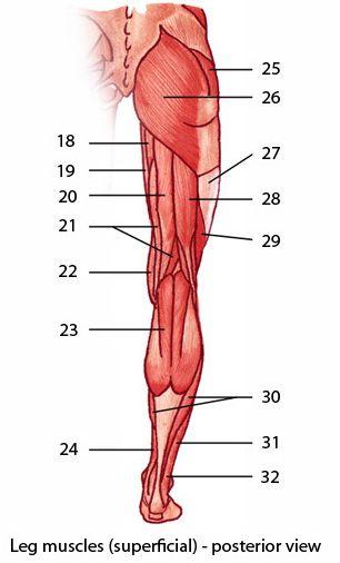 b>Muscles</b> of the <b>lower</b> limb: easy level (identification ...