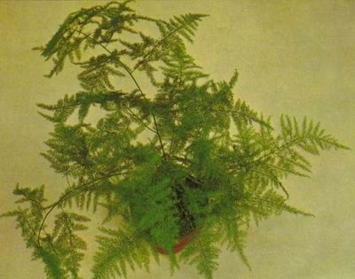 Asparagus setaceus (Asparagus plumosus) - Pluimasperge