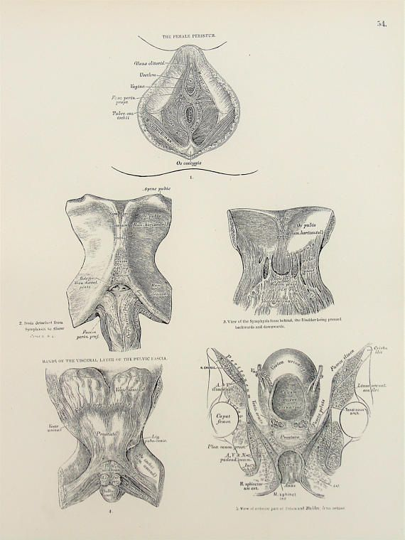 Anatomy Of The Female Perineum Anus Male Perineum 1880s Antique