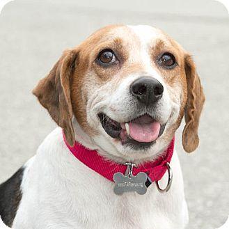 Marina del Rey, CA - Beagle. Meet Bronson, a dog for adoption. http://www.adoptapet.com/pet/12080440-marina-del-rey-california-beagle