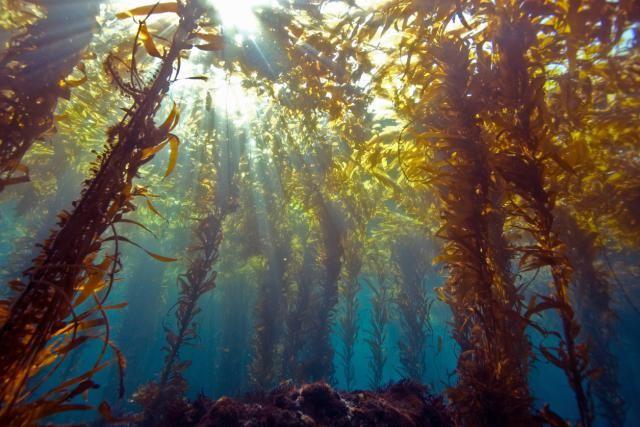 What Is Seaweed Kelp Forest Monterey Bay Aquarium Sea Plants