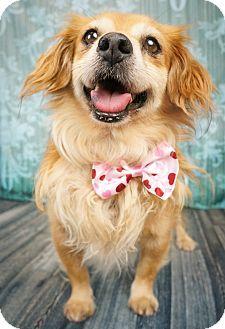 Phoenix Az Corgi Chihuahua Mix Meet Clyde A Dog For Adoption Http Www Adoptapet Com Pet 13637097 Phoenix Arizona Corgi Mix Corgi Chihuahua Mix