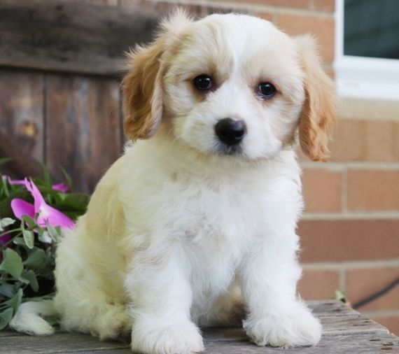 Lindsey Cavachon Puppy Dogs Cavachon Puppies Cavachon Puppies