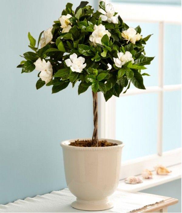 Cultivar gardenias en maceta cultivar macetas y plantas - Plantar en maceta ...