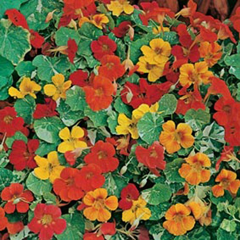 Nasturtium Alaska Mixed AGM Flower Seeds iekler Pinterest