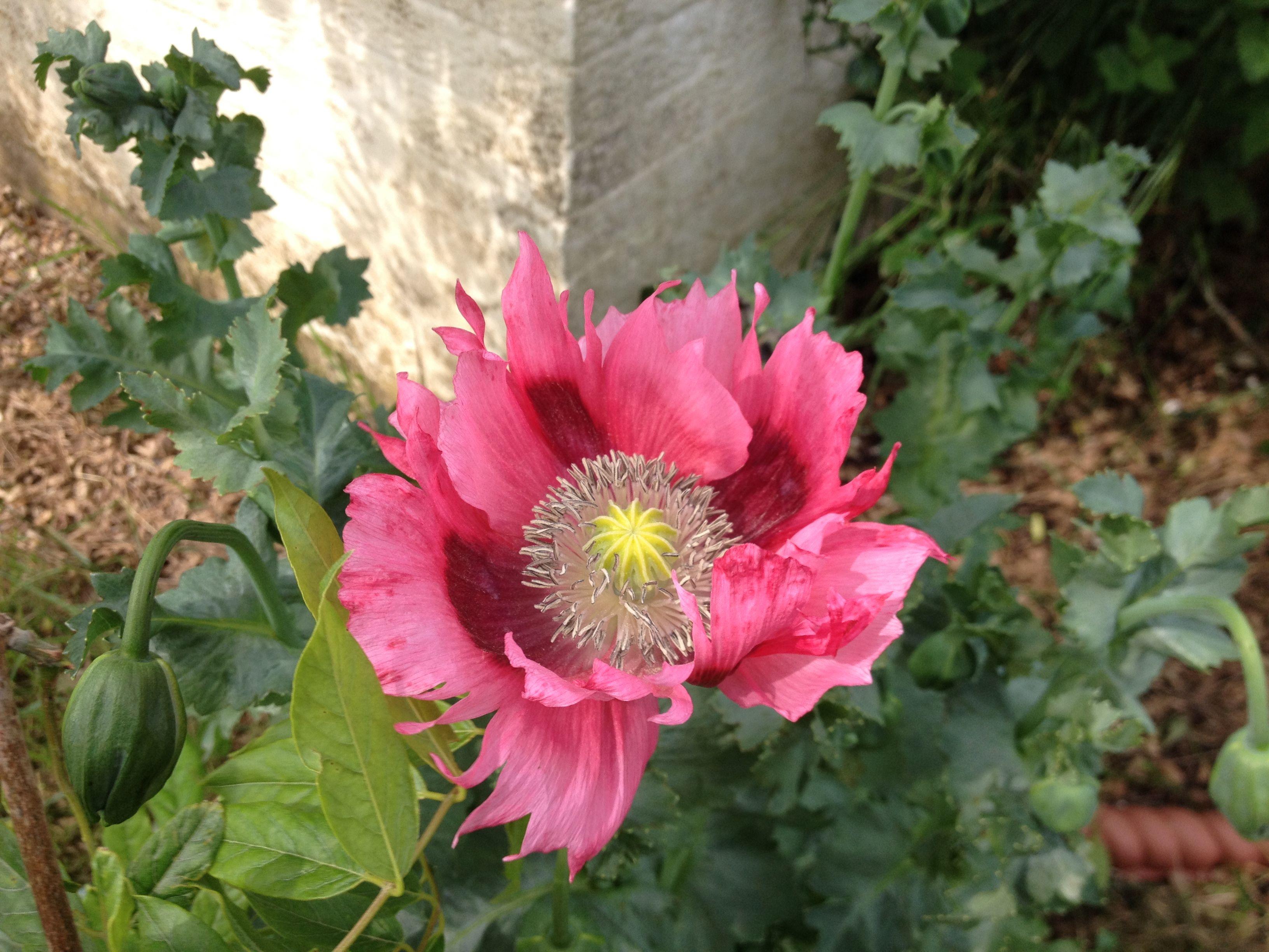 Poppy in our garden.