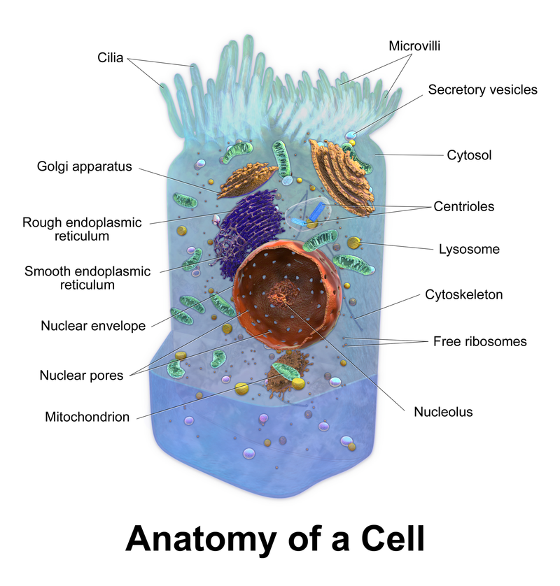Eukaryotic Animal Cell Human Mechanics Pinterest Cell Biology