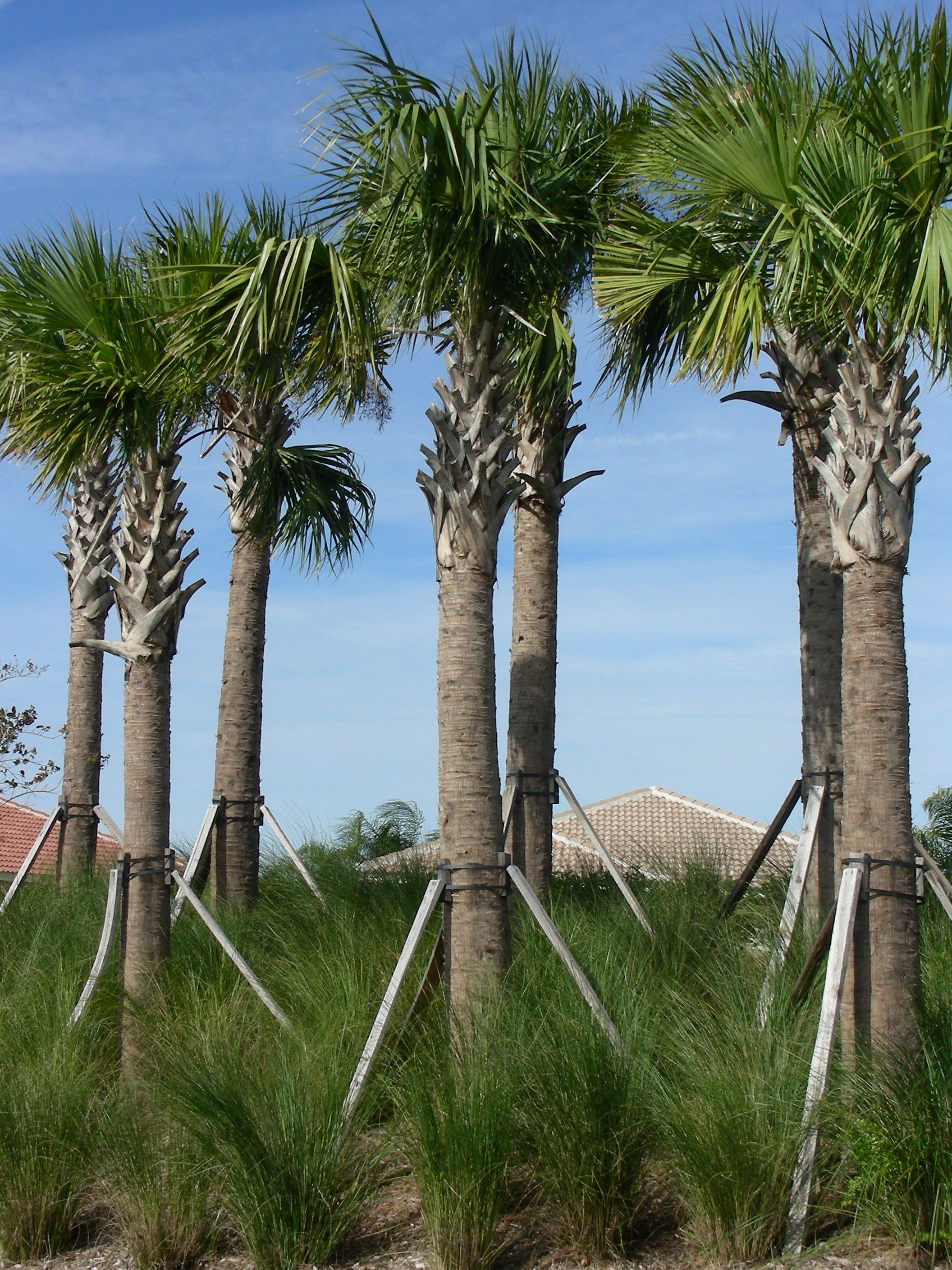 sabal palms look great against the florida sky they are our state