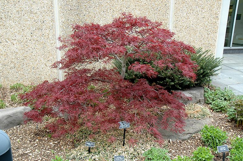 Red Dragon Japanese Maple Acer Palmatum 39 Red Dragon 39 At English Gardens Red Dragon Japanese Maple Japanese Maple Japanese Red Maple
