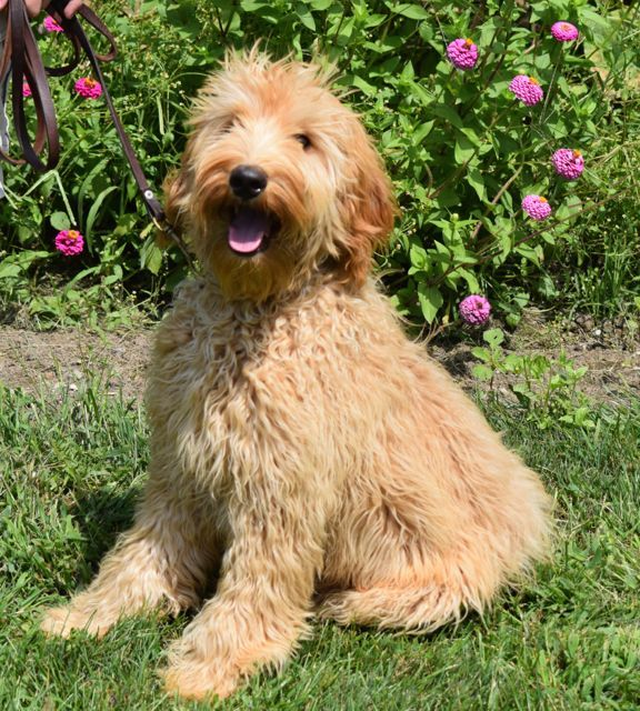 Ashford Manor S Pluto Is A Medium Sized Australian Labradoodle Available For A Breeding Program Dog Breeds Medium Dog Breeds List Dogs