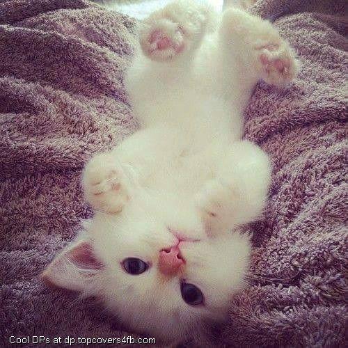 Upside Down White Cat Whatsapp Dp Cute Animals Kittens Cutest