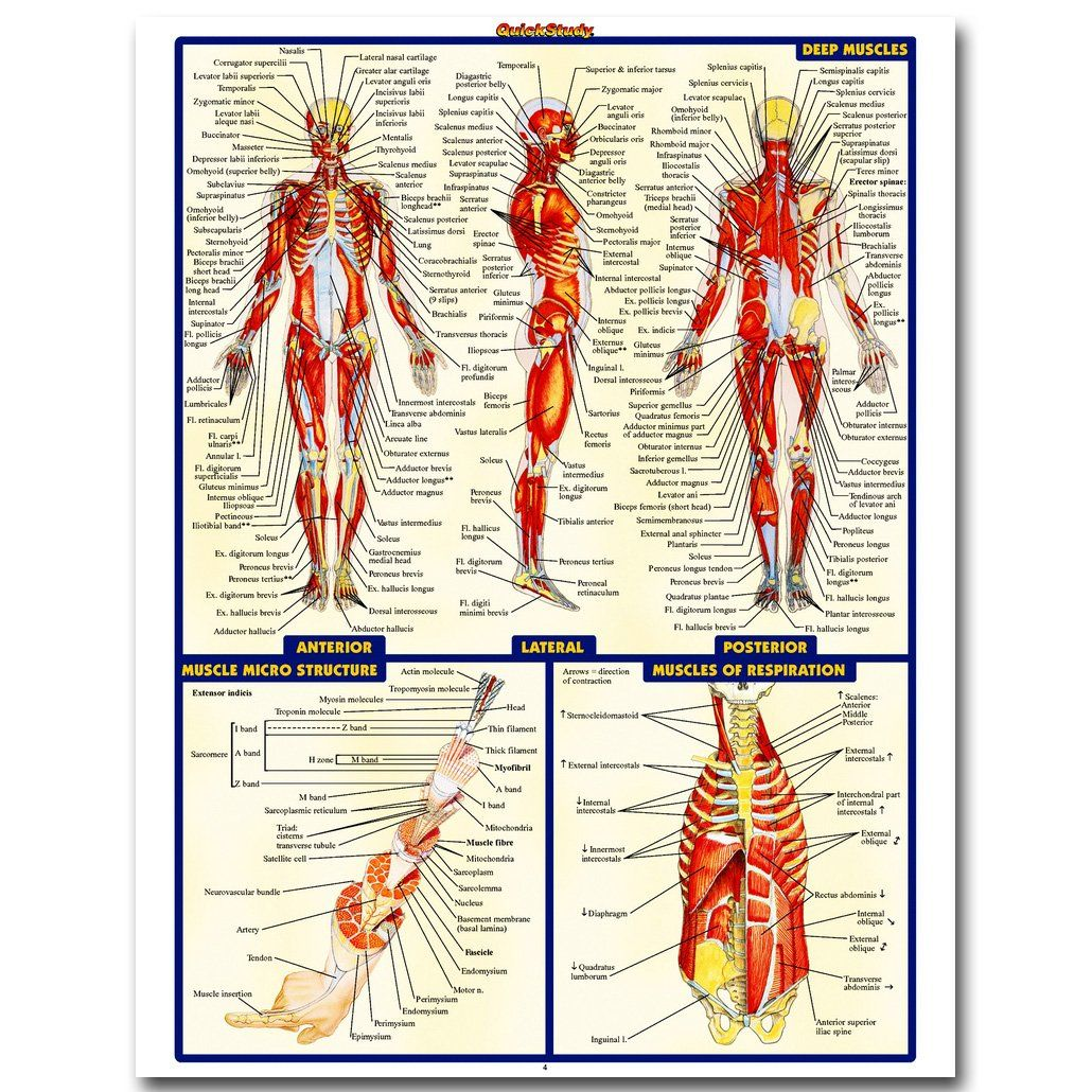Human Anatomy Poster for Medical Education