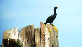 Cormorant - Port of Stockton