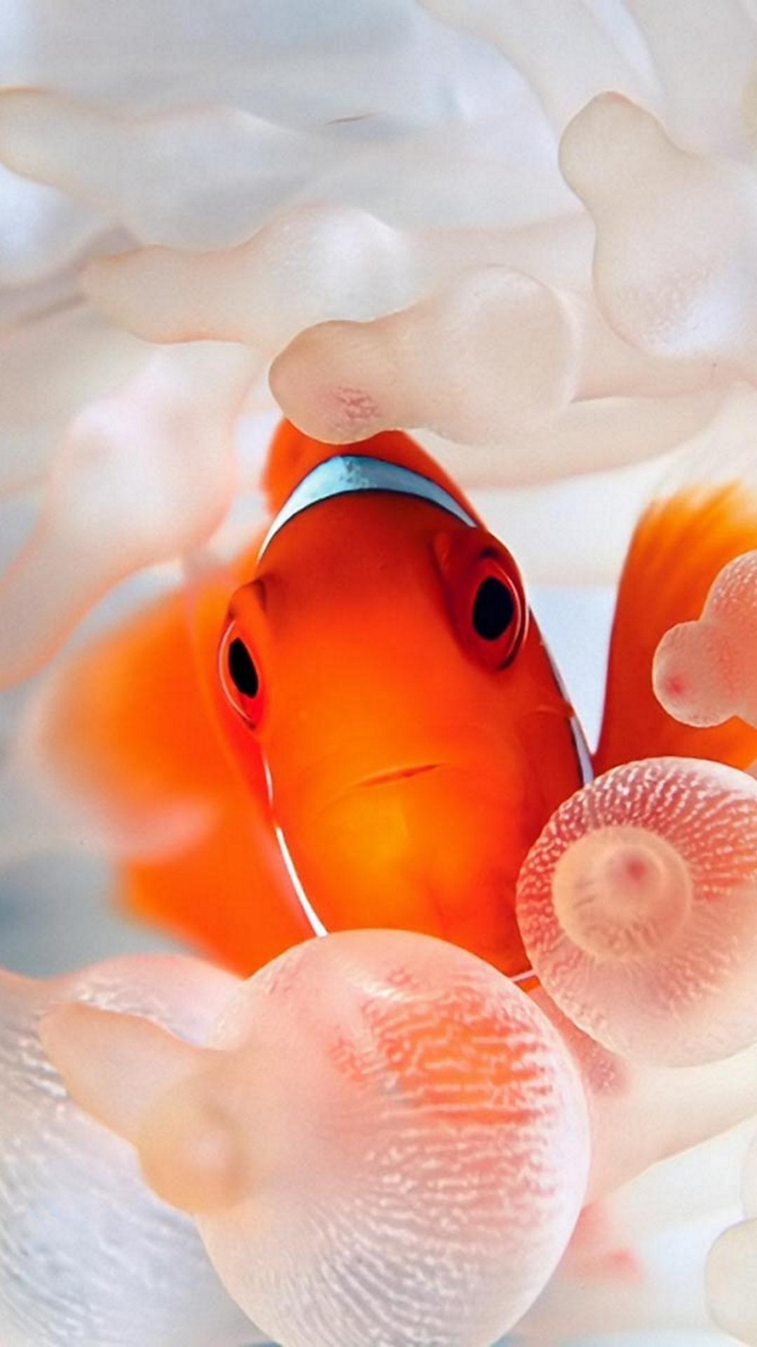 Coses Del Mar Clown Fish Pacific Fish Fish Wallpaper