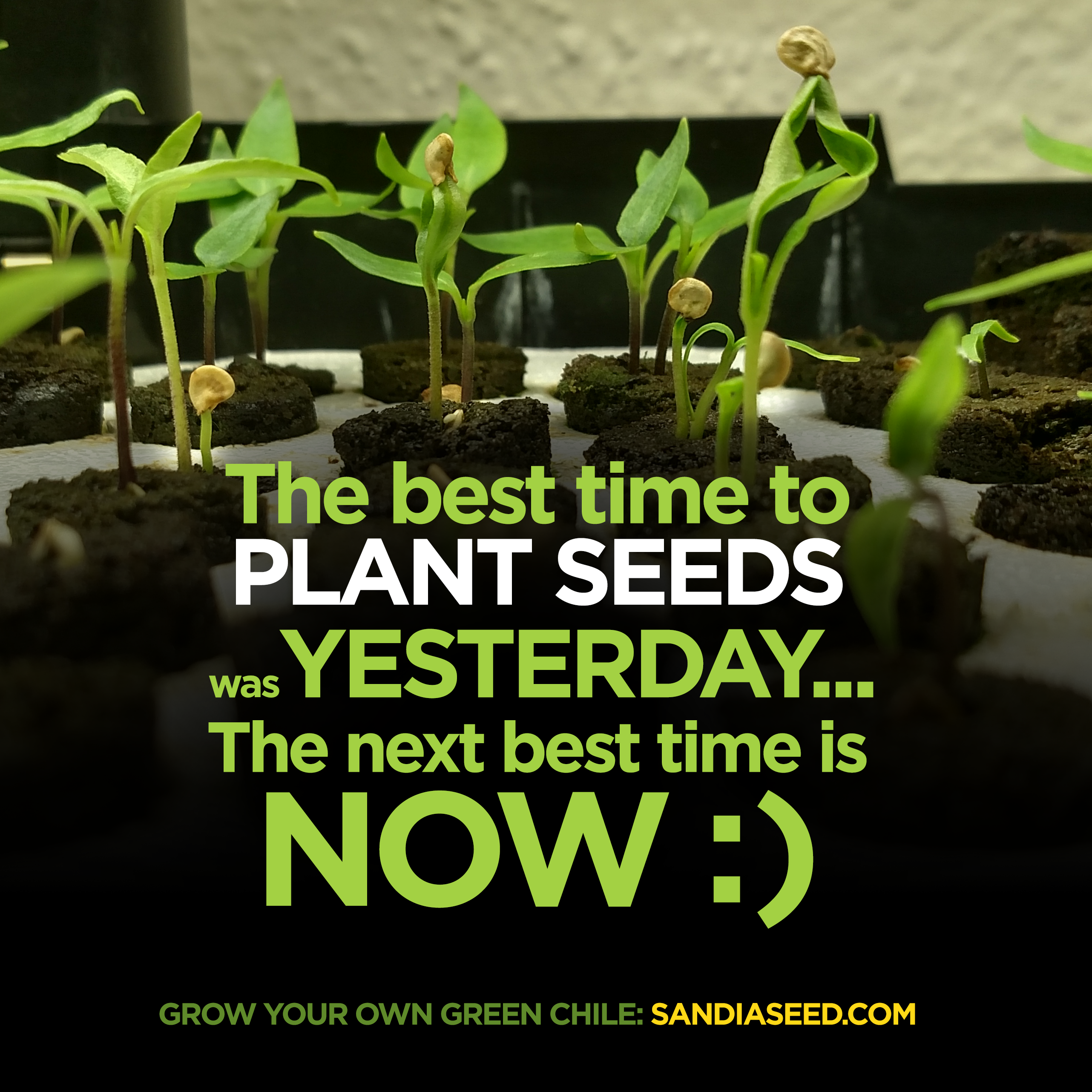 Grow Your Own Hatch Green Chile Seeds Www Sandiaseed Com