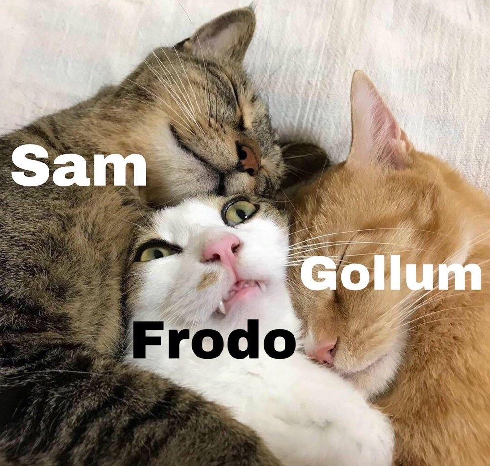 21 Mostly Fresh Lord Of The Rings Memes Cute Animals Cats Cats
