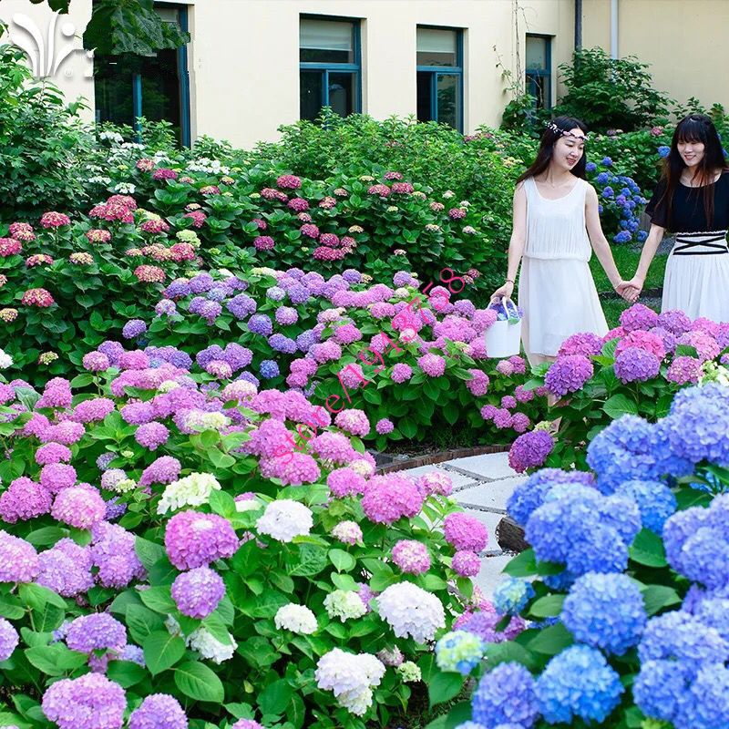 20 Pcs Hydrangea Seed Blue Hydrangea China Hydrangea Flower Seeds Bonsai Seeds For Home Garden Plants Semillas De Plantas Plantas Jardin Hortensia