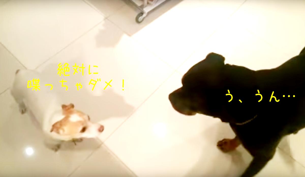 無視する犬 私はやっていない と盗み食いに黙秘を決め込む2匹 動画 The Woof 犬 イヌ ロットワイラー