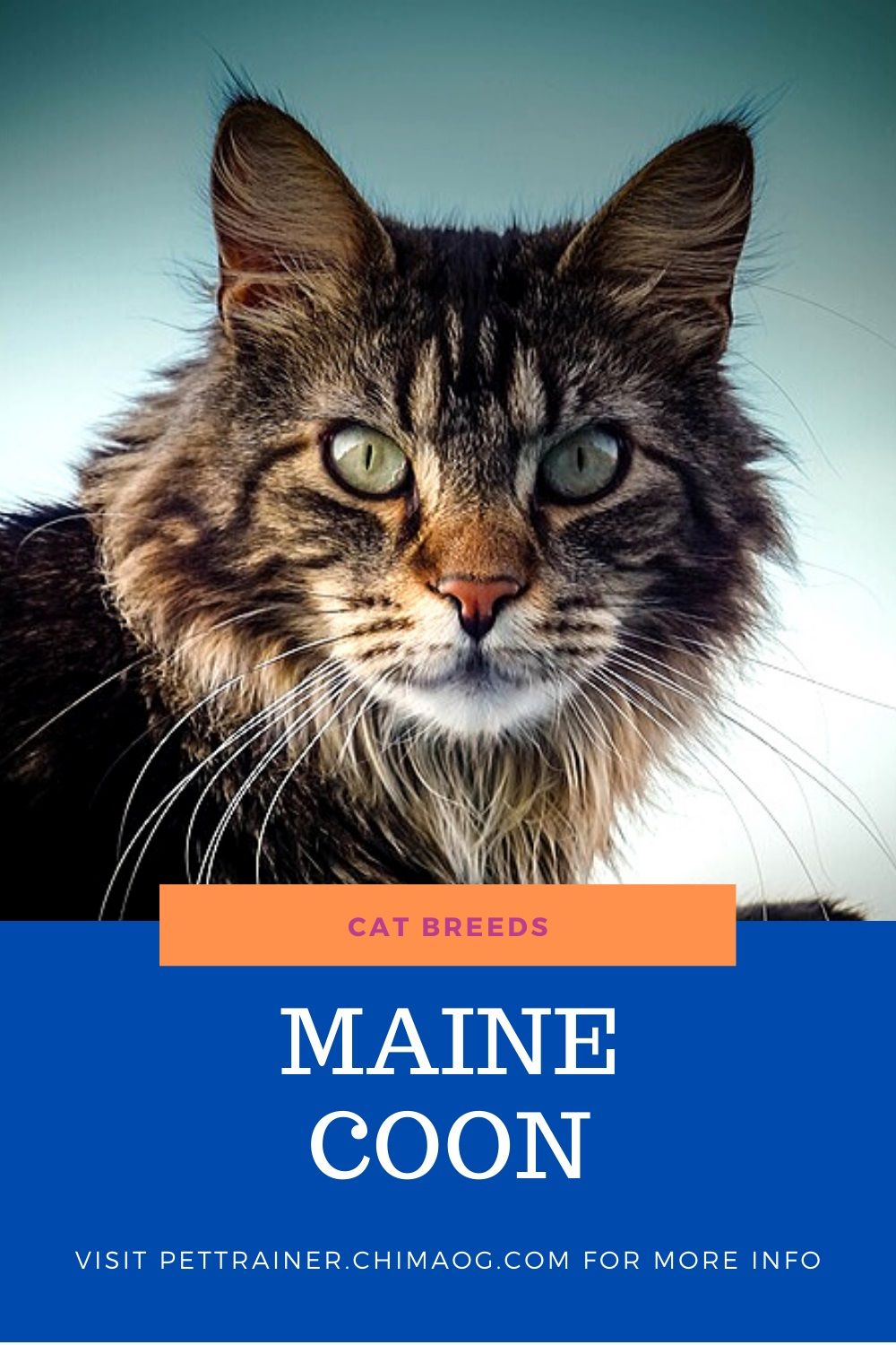 The Maine Coon Cats Are Very Well Known For There Large Size The Females Are Known To Weight Up To 16 Pounds And The Males Up To 18 Poun