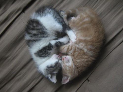 Two Kittens Sleeping In Shape If An Heart So Cute Cute Animals Kittens Cutest Cat Cuddle