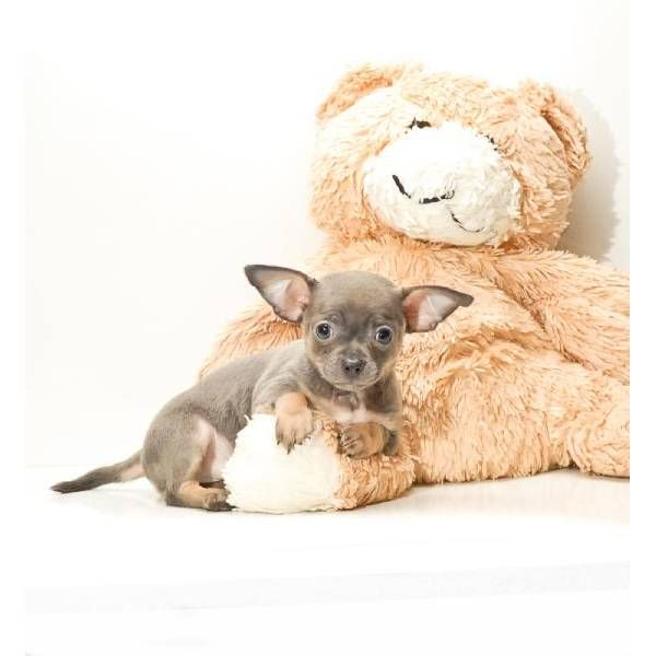 Teacup Jr Is Our Chihuahua Puppy For Sale In Ohio Teacup
