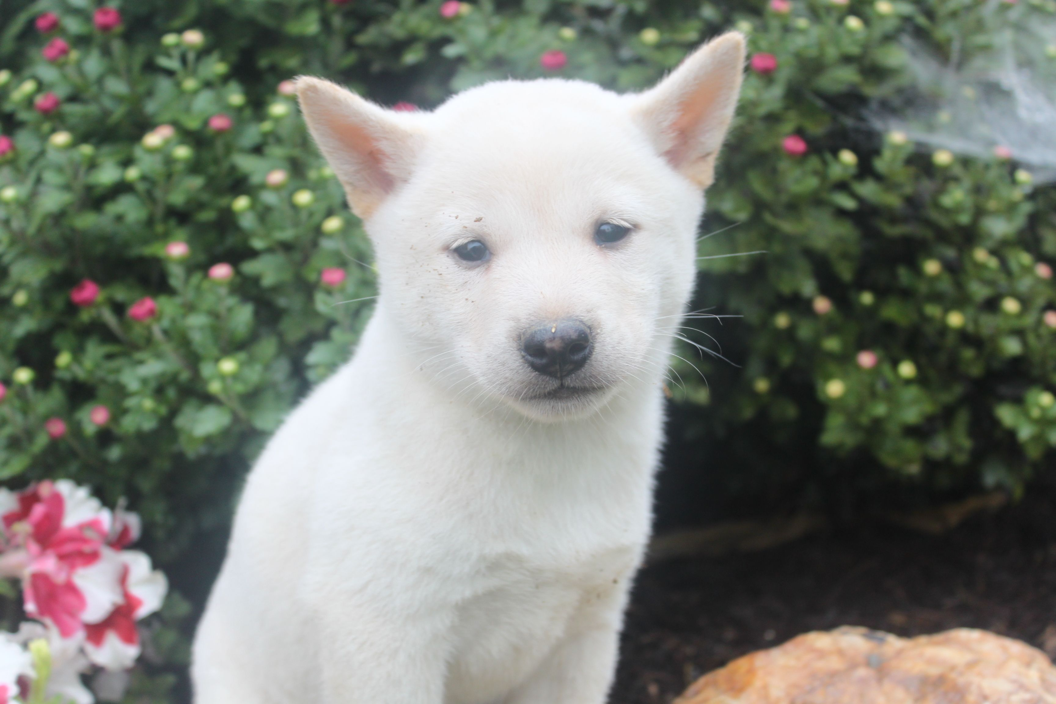 Shiba Inu Puppies For Sale here is a female shiba in