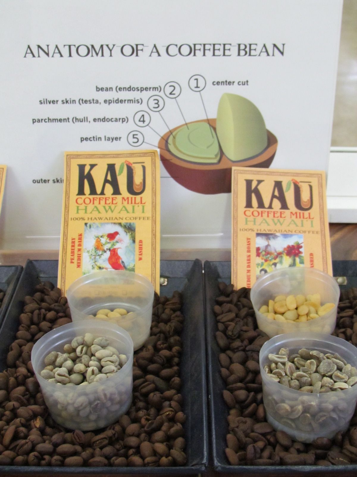 Examples of coffee beans before dried and roasted at Ka\'u Coffee ...