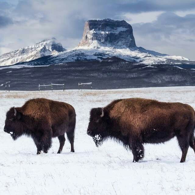 A Montana moment Buffalo on the Blackfeet Reservation