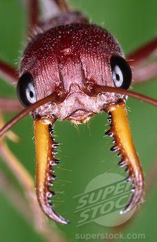 Australian Bull Or Bulldog Ant Myrmecia Gulosa Sydney Australia