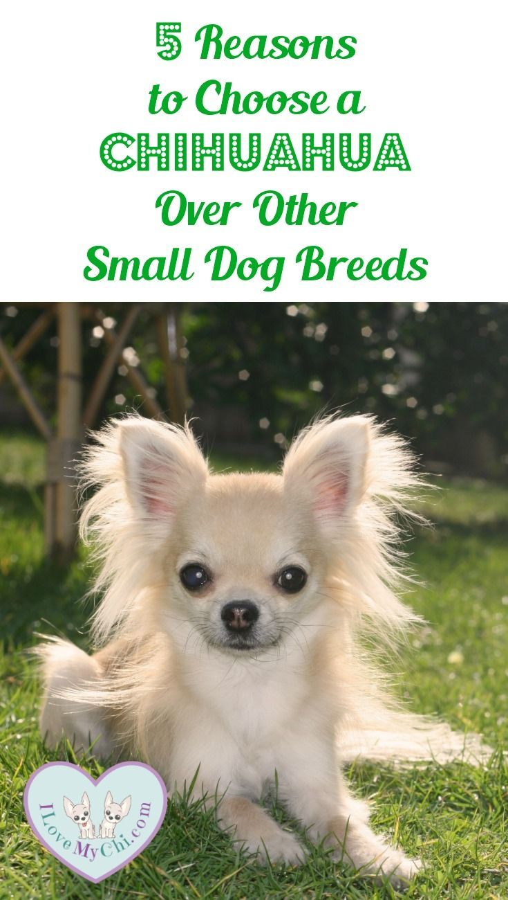 Discussion on this topic: How to Choose a Small Dog, how-to-choose-a-small-dog/
