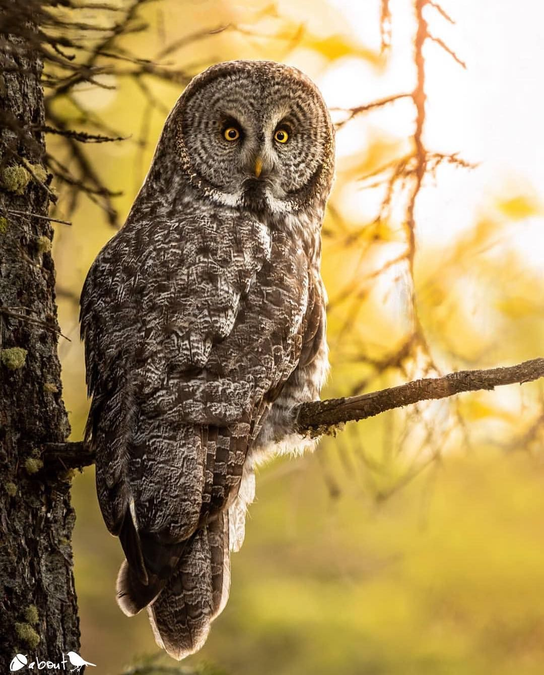 great gray owl facts - HD1080×1339