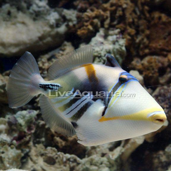 Humu Picasso Triggerfish Saltwater Aquarium Beginner Aquarium Fish Saltwater Aquarium Fish