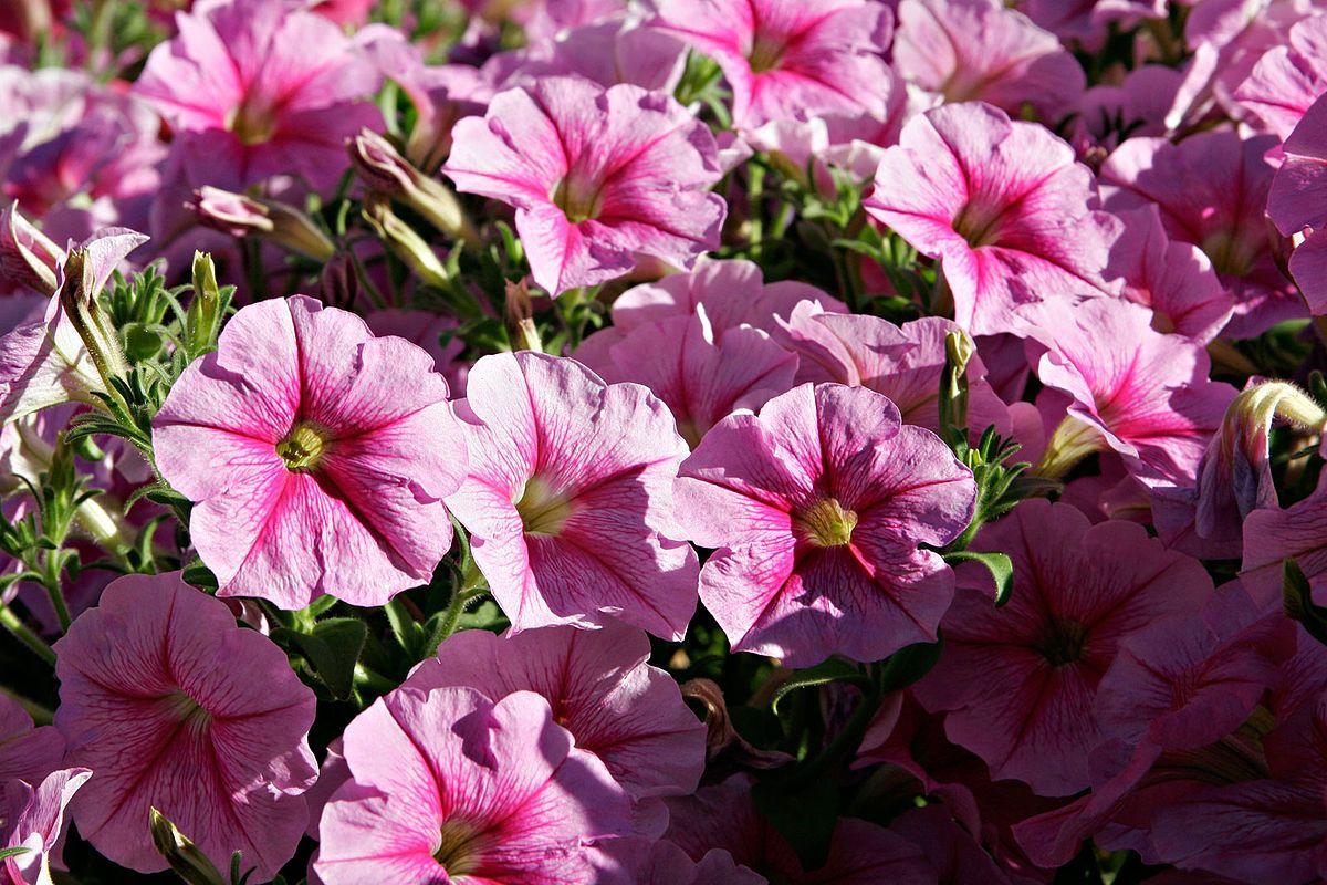 تبغية بيتونيا ويكيبيديا الموسوعة الحرة Petunia Plant Petunia Flower Petunias