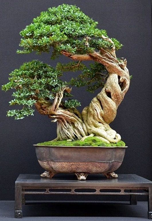 Bonsai trees pinteres for Tierra para bonsais