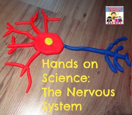 how to make a brain cell model | nervous system, play dough and plays, Muscles