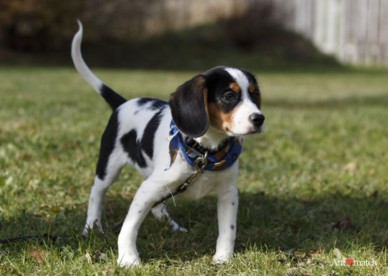 William A Male Beaglier Beagle X Cavalier King Charles Adopted