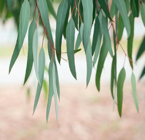 Meet The Plant Eucalyptus Eucalyptus Tree Tree Leaves Eucalyptus