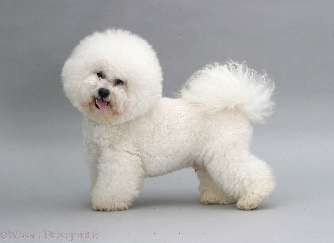 Akc Bichon Puppies For Sale Momsbichons Com Puppies For Sale