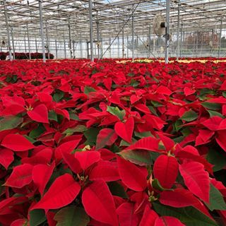 Just look at this amazing view of the poinsettias we grow in our greenhouses @russosfruitveg . I absolutely love this time of year. This sea of read and white won't be here long. They will be shipped out very soon. #jerseyfresh #farmhousechristmas #thefarmgirlcreates #abmcrafty #poinsettia #sobeautiful #christmasdecor #christmastree #ohchristmastree #farm #farming #farmlife #thatsdarling #abmlifeiscolorful #abmholidayspirit #abmathome #greenhouse #flowers #farmhousestyle #christmasgoals #...