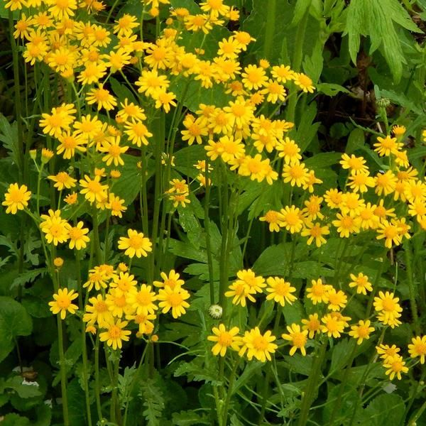 In Spring Small Yellow Daisy Like Flowers Create A Bright Patch In