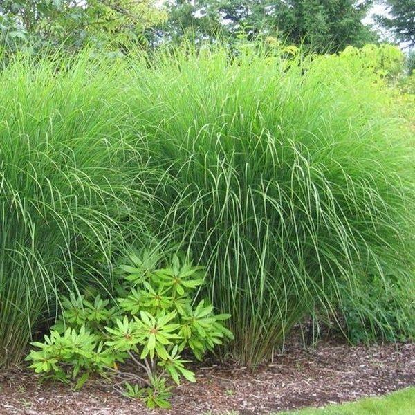 Roseau de chine 39 gracillimus 39 miscanthus sinensis for Plante verte haute
