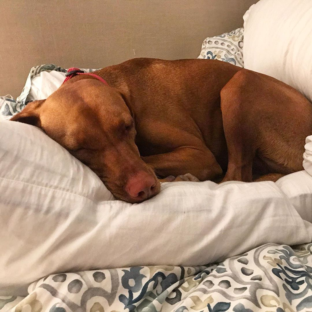 How To Find A Lost Dog Losing A Dog Dogs Vizsla