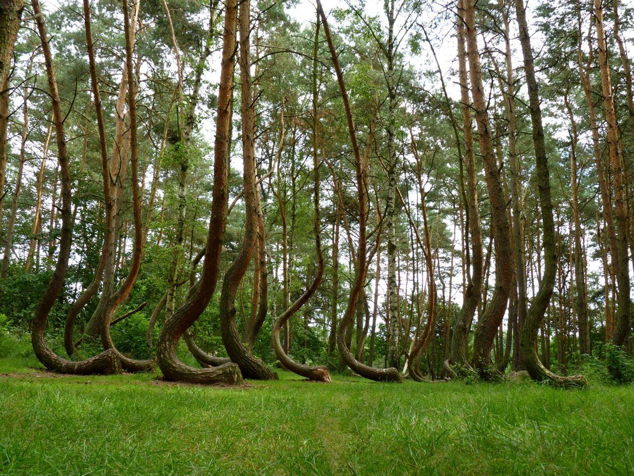 Der Krumme Wald Geheimnisvolle Orte Wald Polen
